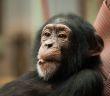 伊波拉病毒與可憐的猩猩